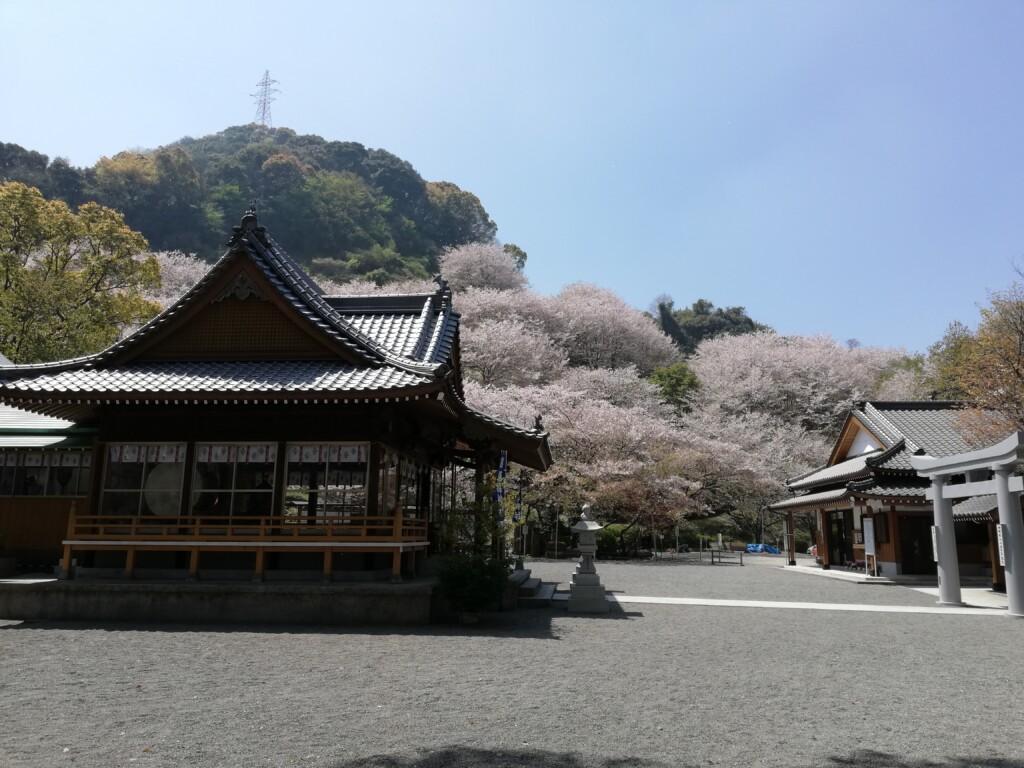 遥拝神社の桜
