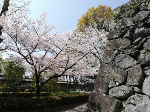 八代城跡公園の桜
